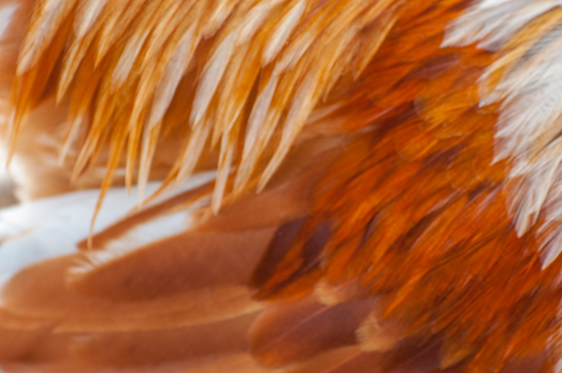Easter Egger Feathers Abstract