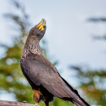 Striated caracara 1 LMarun