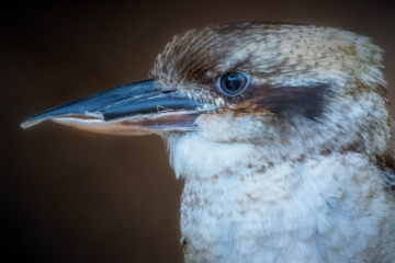Bunji, Laughing  kookaburra