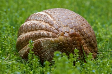 Lucille Ball, Three-banded armadillo