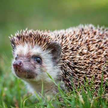 Trixie, African hedgehog