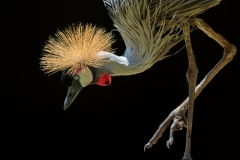Frazier, Grey crowned crane