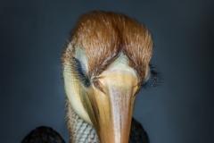 Kokomo, Papuan hornbill