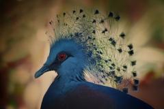Victor, Victoria crowned pigeon