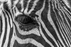 Zipper, Grant's zebra