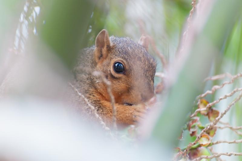 Fox Squirrel-3