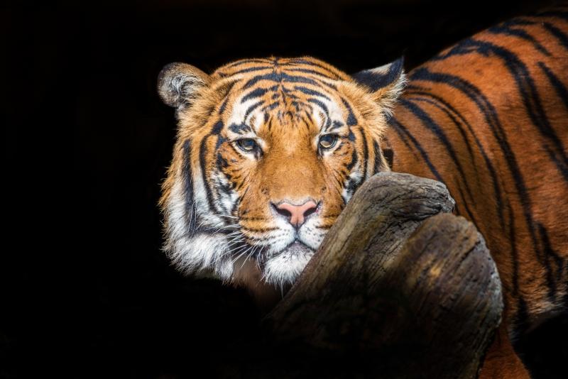 Malayan-tiger-4-LMarun