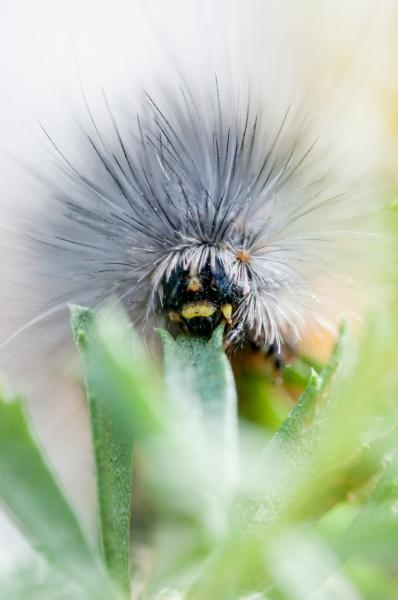 Salt-Marsh-Caterpillar