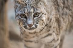 Bobcat LMarun