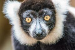 LMarun.AZ_.Lemurs2.0120