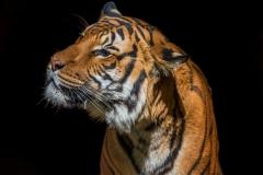 Malayan-tiger-1-LMarun