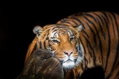 Malayan-tiger-3-LMarun