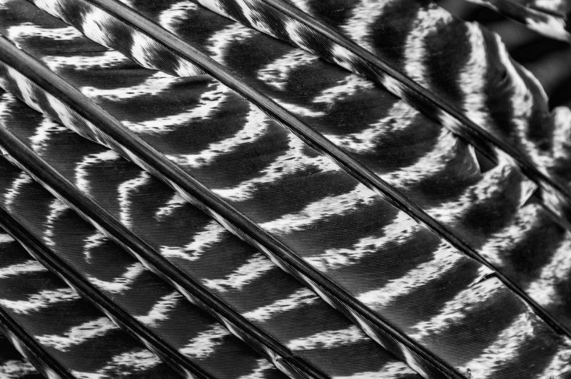 Bronze Turkey Feathers Monochrome