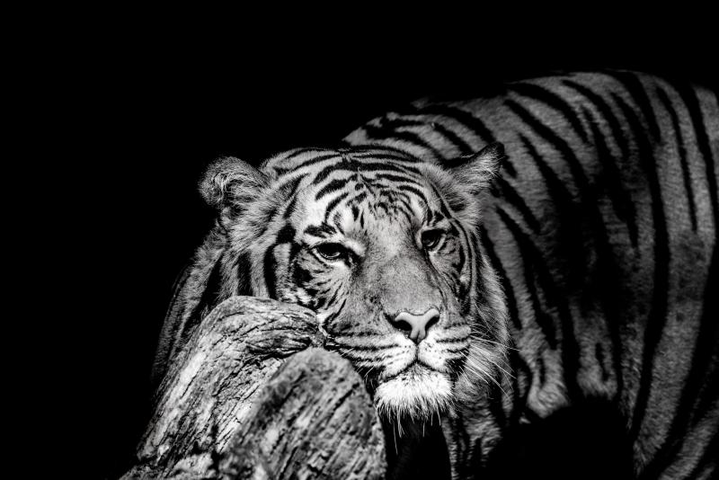 Malayan-tiger-3-Mono-LMarun