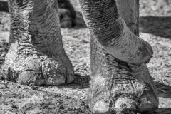 Asian Elephant LMarun