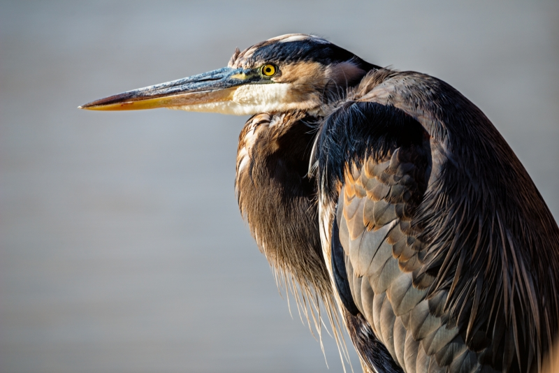 LMarun.Great-Blue-Heron-Hunched