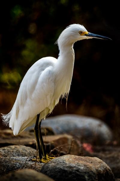 LMarun.Snowy-Egret-Paseo-Delicias