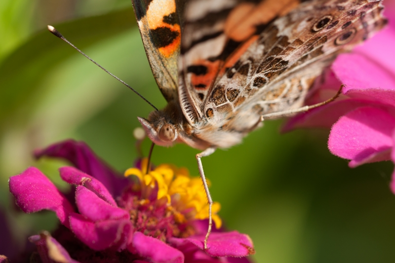 Painted Lady on Zinnia-3