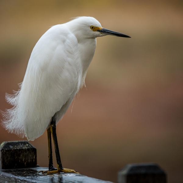 Snowy Egret Sweetwater Springs
