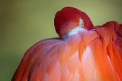 American-Flamingo-3-LMarun