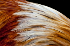 Easter Egger Feathers-2