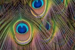 LMarun.AZ_.Peacock1.0120