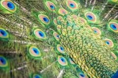 LMarun.AZ_.Peacock3.0120