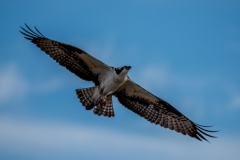 LMarun.Osprey-in-Flight