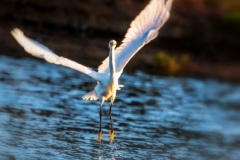 Snowy Egret-5