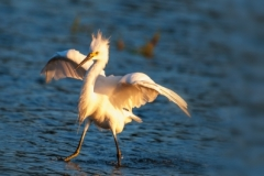 Snowy Egret-1