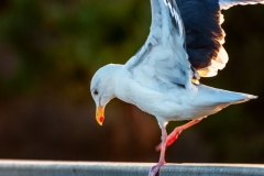 San Dieguito River Park, Larus californicus, California Gull_