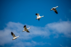Snow Geese in Line