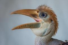 Papuan hornbill