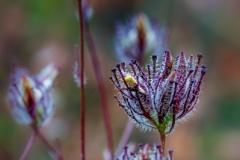 Cordylanthus rigidus 2