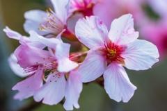 JFG-6 Cherry Blossoms
