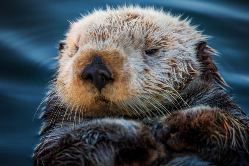 Grumpy Sea Otter