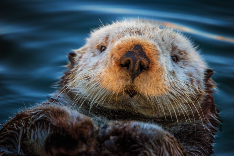 Lounging Sea Otter