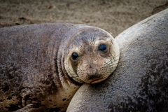 Elephant Seal Adolescent 2