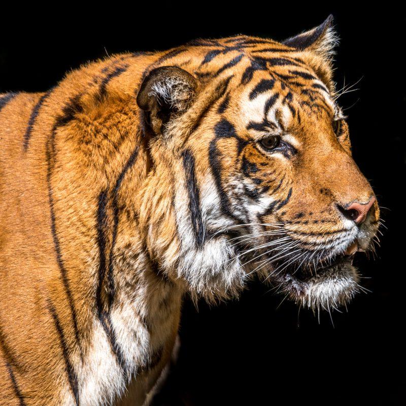 Malayan tiger (Panthera tigris jacksoni) © Lisa Marun